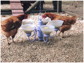 Foto 3. Creativitate spre bucuria găinilor